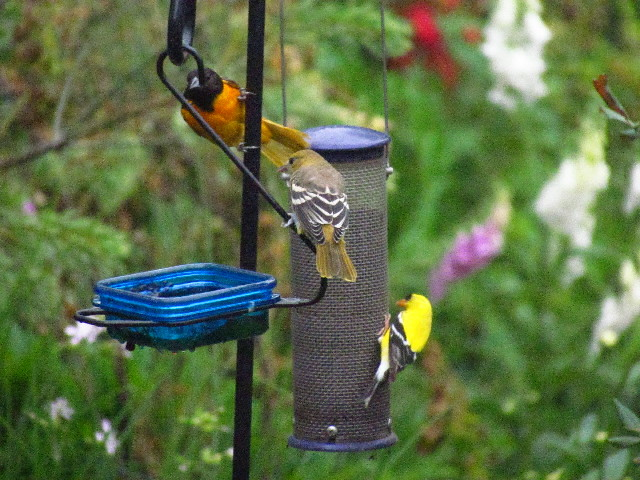Oriole feeding lesson2 6:27:13