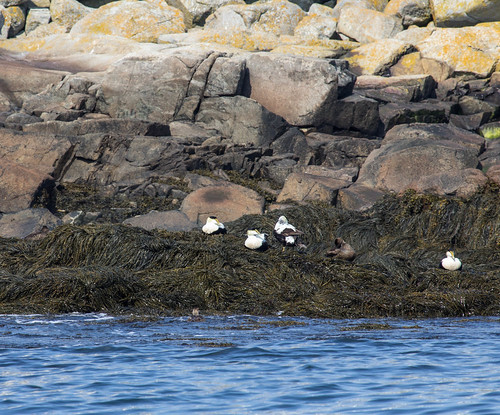 Common Eiders on Machias Seal Island