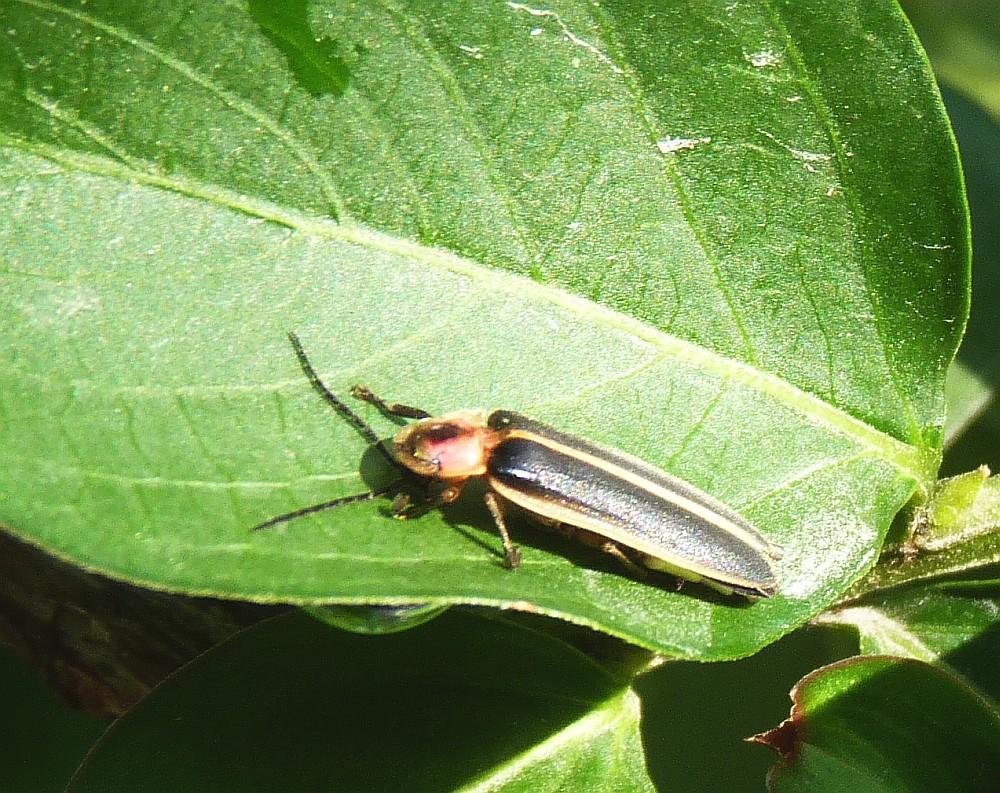 Sunning Lightning Bug