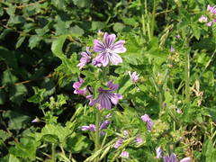 herb(0.0), annual plant(1.0), flower(1.0), plant(1.0), malva(1.0), wildflower(1.0), flora(1.0),