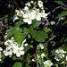 Hawthorn in flower