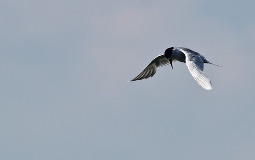 Forster's Tern by ricmcarthur
