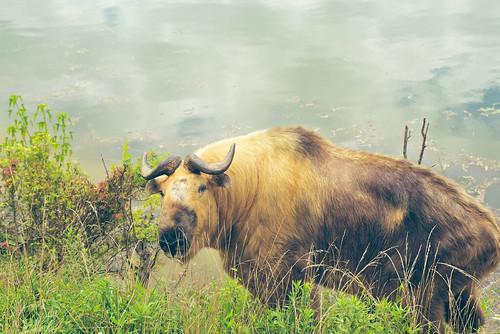 Sichuan Takin.