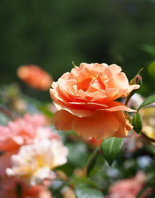 Photo:Rose, Royal Sunset, バラ, ロイヤル サンセット, By T.Kiya
