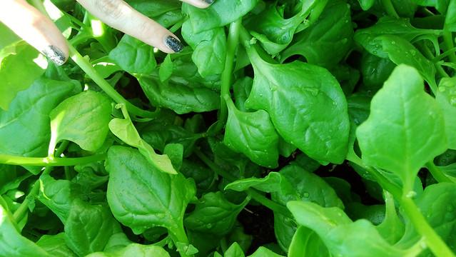 New Zealand SpinachWP_20130812_007