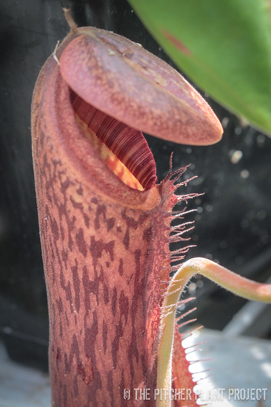"Nepenthes ""Song of Melancholy"""