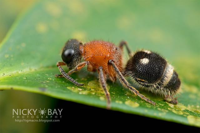 Velvet Ant (Mutillidae) - DSC_3762
