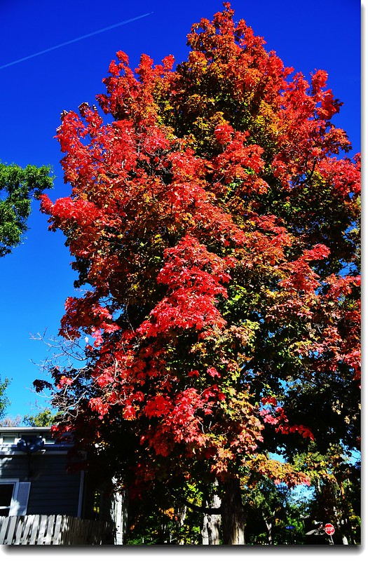 Maple in Fall, Mapleton Hill, Boulder (35)