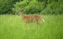 Deer June 4, 2011 PA (2)