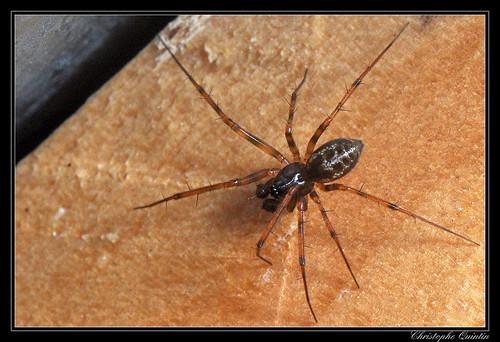 Lepthyphantes minutus mâle