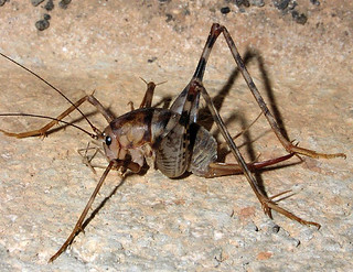 cave_cricket.16841941_std