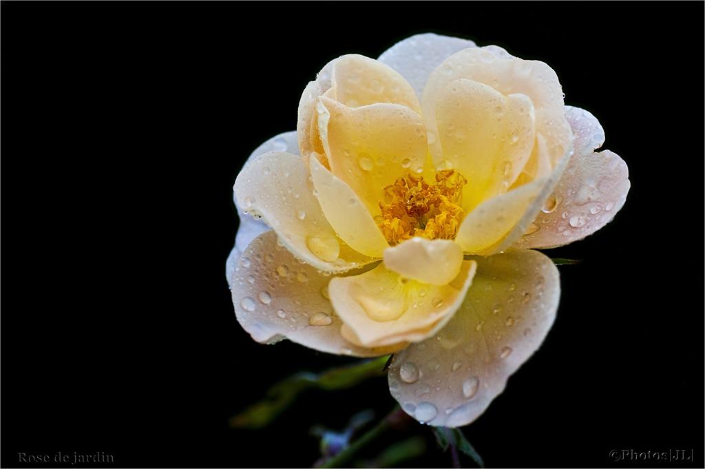 Roses de novembre...|Ajout 8 nov| 10744207005_d0ef654b9b_o