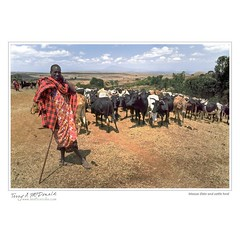 Maasai Elder and cattle herd