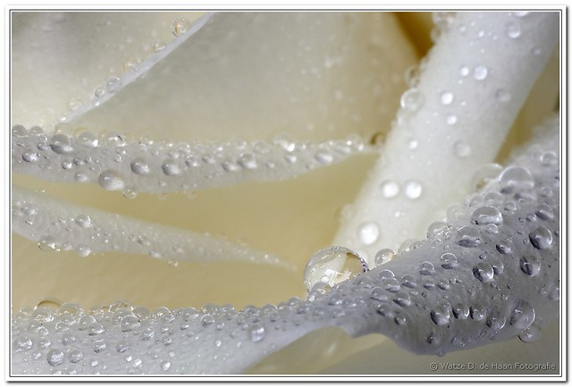 FV Flickr Top 5; 2-33: witte roos