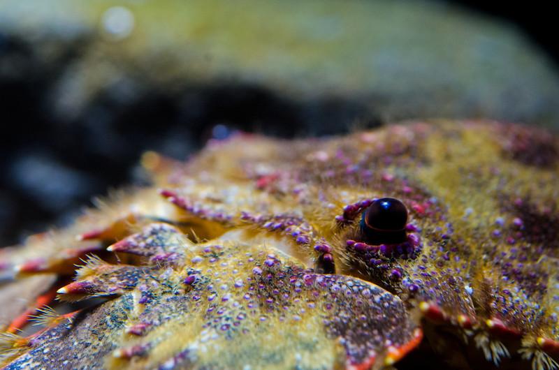 ゾウリエビ Japanese mitten lobster