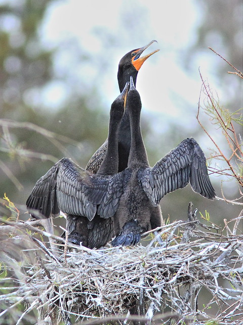 Double-crested Cormorant feeding chicks 01-20131210