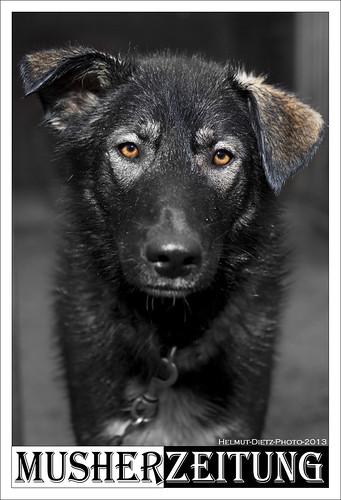 Schlittenhundenachwuchs aus ALASKA in Sassenberg-Füchtorf. Sein Name: ASK.