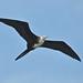 Magnificent Frigatebird Rio de Janeiro 12 Mar 09 DSC_0451 tagged