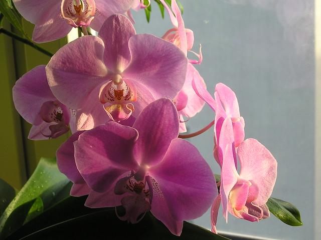 Pink standard phalaenopsis