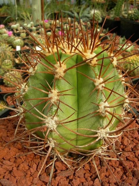 Copiapoa in cultivation 11739582693_6ba04709be_z
