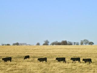 Cows come home {3/365]