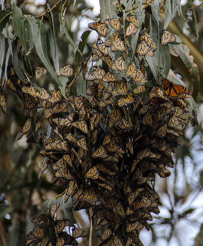Monarch Cluster by KaroliK