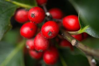Immigrant berries