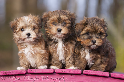 3 Havanese puppys in a row!