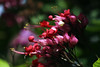 Clerodendrum thompsoniae - bleeding heart by LuckyEyes