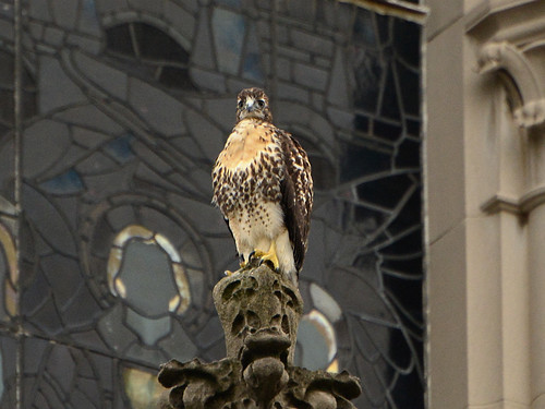 Cathedral Hawk Fledgling #3 (2227)