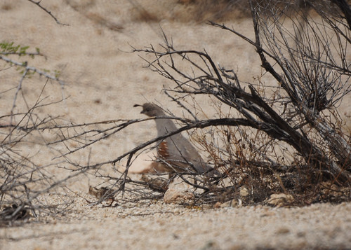 Gambel's Quail and Chicks