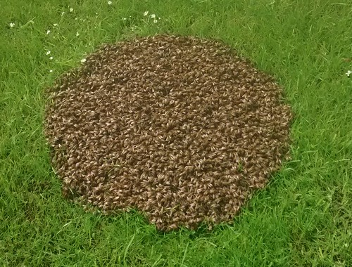 bee swarm June 14