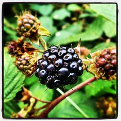It's nearly time for Blackberry picking!