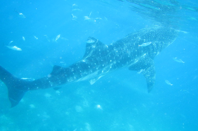Enormous, enormous whale shark just a stone throw away.