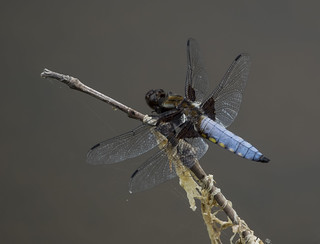 broad-bodied chaser 381  (30)