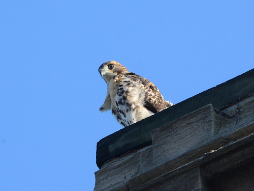 Cathedral Hawk Fledgling - 3144