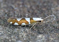20.011 Gold-ribbon Argent - Argyresthia brockeella