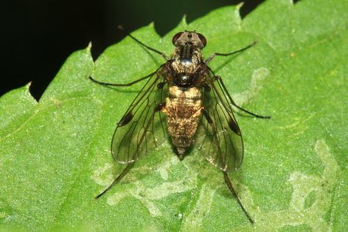 Black Snipefly  30445