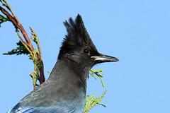 Cyanoccita stelleri (Steller's Jay) - Everett, WA