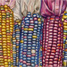 Indian Corn by rebeccavoneil1