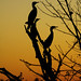Cormorant dusk by mediocre