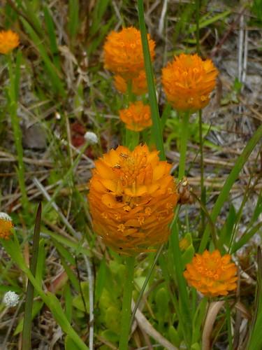 candyroot nelsonep217 orangemilkwort site12