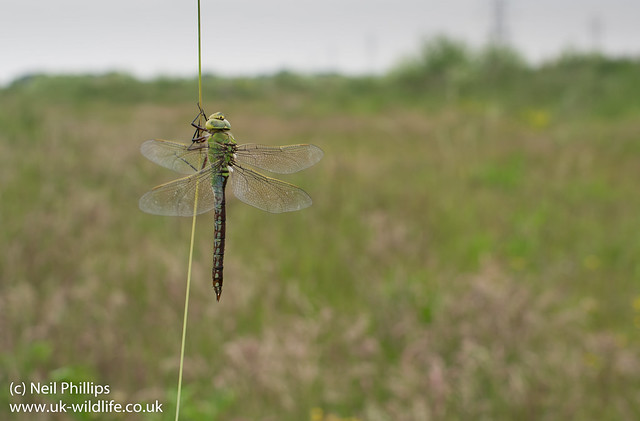 Female emperor dragonfly wide angle-4