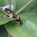 Large Ichneumon wasp - Amblyteles sp. #3 by Lord V