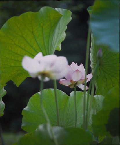 lotus2013 〜秘密〜