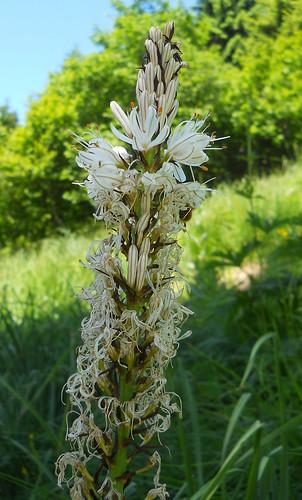 White Asphodel (Asphodelus albus)