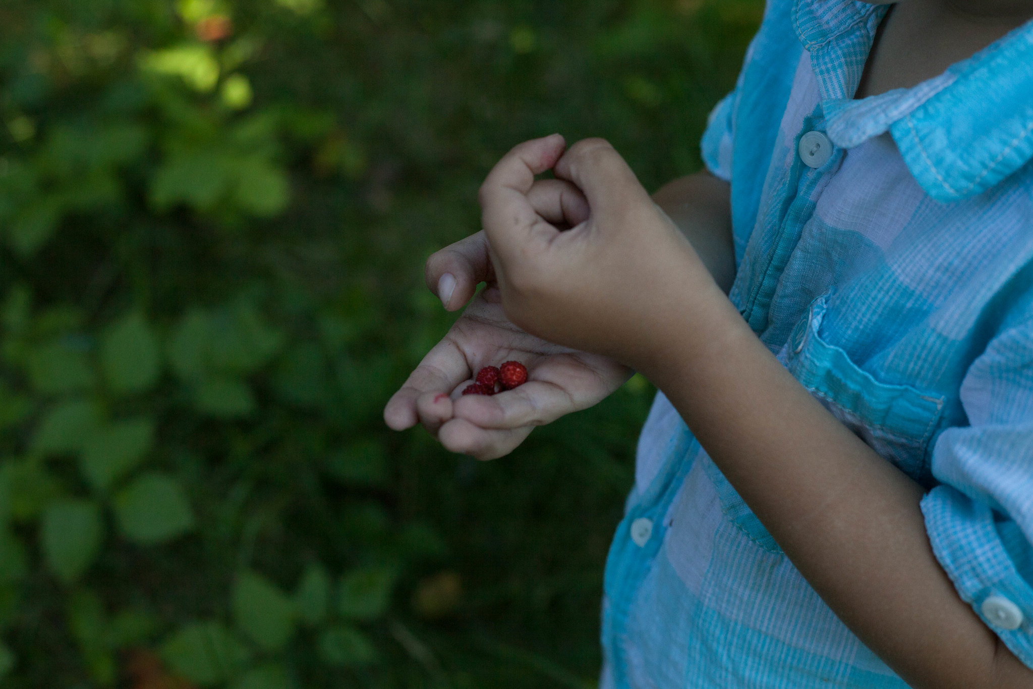 Picking wild strawberries