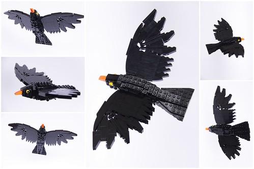 Colin the Common Blackbird