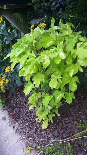 Ipomoea nil Yellow Leaf Asagao by Gerris2