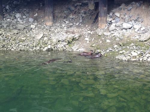 Sea lions at Granville Island